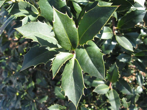 image English Holly leaves