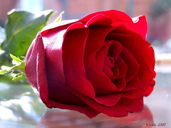 Beauty of a Rose.. (welshlady) Tags: red flower rose wow ilovenature memorial kodak romance 100views bloom 300views 200views bandstand florafauna standingovation helluva captainscott welshlady splendiferous 10faves beautyisintheeyeofthebeholder theworldthroughmyeyes 25faves abigfave shieldofexcellence impressedbeauty blueribbonphotography welshflickrecymru