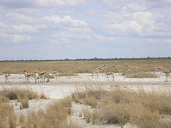 A large herd of springbok.JPG