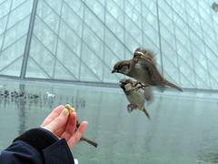 Sparrows la Lovre