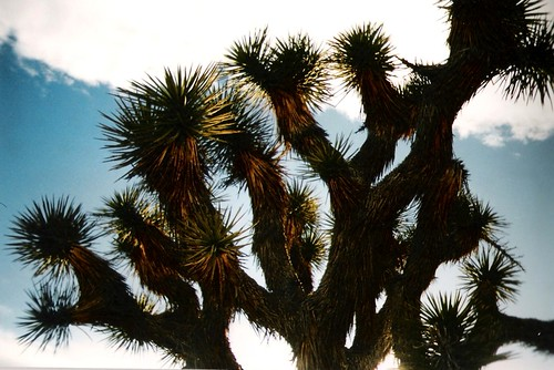 Joshua Tree at Joshua Tree