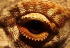 Soft Focus Eye (Wallflower83) Tags: pet macro eye animal dragon reptile lizard domestic scales creature bearded eyelid