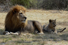 Lion & cub (Arno Meintjes Wildlife) Tags: africa wallpaper nature animal bush wildlife lion safari bigcat predator rsa carnivore pantheraleo genuspanthera arnomeintjes