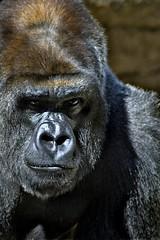 Gorilla (nailbender) Tags: zoo birmingham bravo jamie gorilla alabama jungle primate magiccity nailbender specanimal animalkingdomelite impressedbeauty superbmasterpiece jdmckinnon