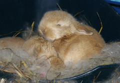 Growing up fast... (Sjaek) Tags: pet baby pets cute rabbit bunny bunnies nest sweet adorable fluffy rabbits