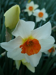 daffodil with orange corona