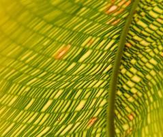abstract (trAvelpig) Tags: nyc newyorkcity ny newyork green leaf pattern bronx conservatory photodomino underside backlit d200 backlighting newyorkbotanicalgarden travelpiginterestingness photodomino544