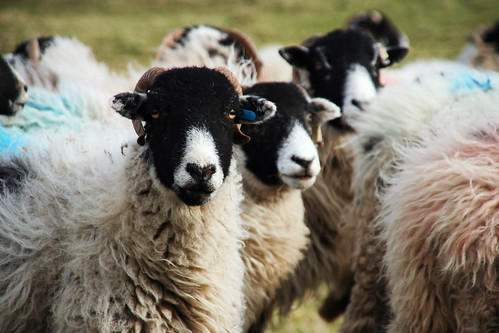 Sheep by jrigol, on Flickr