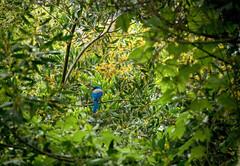blue (patrix) Tags: park trees bird jay elusive scrub scrubjay buenavistapark