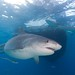 Tiger Shark Below Diving Boat
