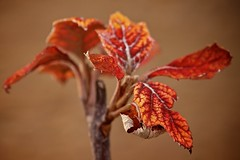 Winter's Flame (Sine--Qua--Non) Tags: nature outdoors winter leaf leaves macro fall autumn
