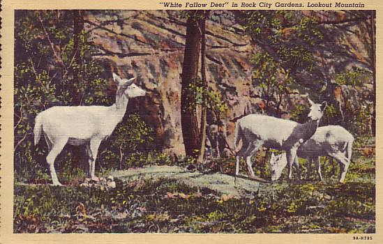 White Fallow Deer at Rock City Post Card