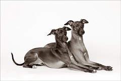 Two Italian Greyhounds (2) (Piotr Organa) Tags: portrait bw dog pet greyhound white toronto canada black cute dogs portraits studio italian nikon pet500 pet1000