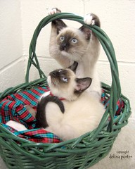 Siamese Mix Kittens in Christmas Basket. Hold onto your socks, folks. This is one of my best photos. (Pixel Packing Mama) Tags: wow fantastic perfect tl lovely1 awesome great letsplaytagyoureit excellent catsandkittensset capture omg flickrwow cutekittens heartlandhumanesociety 50v5f top20cats catsinbaskets pixelpackingmama christmas2006 taggedoutthegraduatesofletsplaytag dorothydelinaporter instantfave worldsfavorite wowphotos flickrsbest taggedoutproudofitset montanathecat~fanclub catcentury reallyunlimited gattigattinigattoni 20comments montanathecat~fanclubpool bonzag favoritedpixset views7000 spcacatspool lolcats bestofcats blackcatkizzy ultimateanimalphotography impressedbeauty christmastime2006set siamesemixkittens catscookicatfriends preciouscomments ultimateshot commentedwithanicondirectorygroup ceruleanthecat~fanclubpool catsinbasketsset pixwithexclamationpointsincommentsset reallyunlimitedpool views1000andupdomesticcatsonlypool 5000viewsmusthave5000viewspool views7000orfavorites100pool bonzagallery10favesonlypool greatpixgallery50favespool uploadedsecondhalfof2006set welldonepool dogsandcatsaroundtheworldpost1award1pool favorites60pool 50plusphotographersaged50andbetterpool adorableawesomecutepricelessbeautifulwonderfulexcellentfantastictoomanysuperlativestoposteachoneinagroup gorgeousamazingomg painterlycatsset 10000viewsset christmascatskittensset newfavset50 incrediblefelinephotos10000viewspool oversixmillionaggregateviews over430000photostreamviews