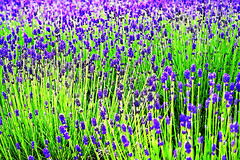 Purple Green (hk_traveller) Tags: trip travel vacation flower color green japan canon photo interestingness interesting asia hokkaido flickr purple traveller explore turbo   top100 douban top500 i500 view1000 turbophoto