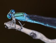 Pseudagrion decorum (Bob Reimer) Tags: damselfly sharjah unitedarabemirates odonata zygoptera pseudagriondecorum wadishis