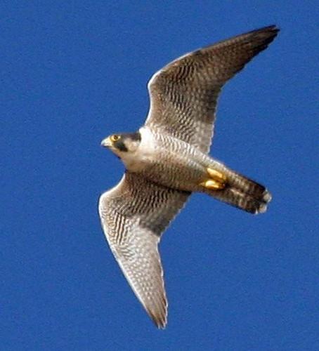 peregrine-falcon-morro-rock001