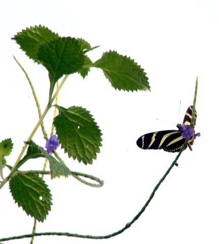 Zebra Longwing Butterfly, IMG_0856.JPG