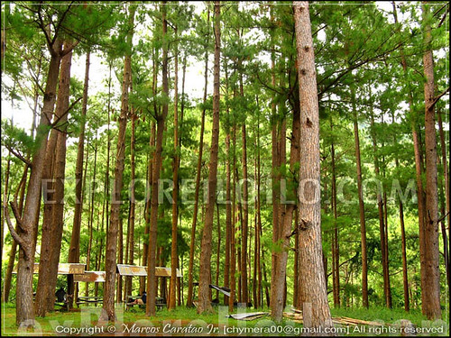 Tall Pine Trees at Sitio Tabionan in Brgy. Bucari, Leon