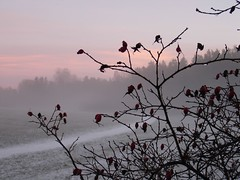 Rosehip ( B i b b i ) Tags: pink winter sunset mist fog drops vinter bush sweden rosa solstice wintersolstice yule sverige twigs nypon rosehip solnedgng dimma buske droppar ngby judarnskogen kvistar vintersolstndet