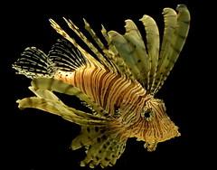 Interesting Fish (Mondmann) Tags: ocean sea fish nature animals d50 washingtondc nikon wildlife nikond50 lionfish nationalaquarium underseaworld specanimal animalkingdomelite impressedbeauty