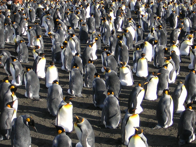 Crozet Archipelago - King Penguins
