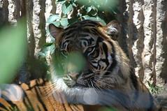 DSC_3036 (blackwolf05) Tags: tiger sumatrantiger kansascityzoo