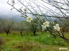 (glasszz) Tags: plumflower