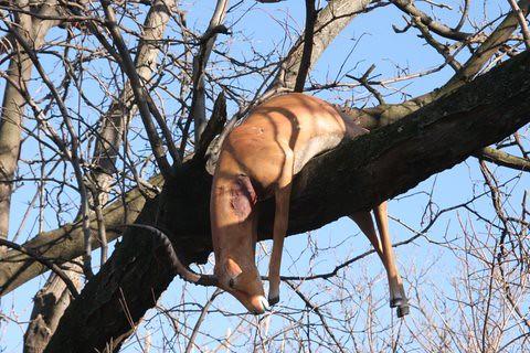 artificial kill St Louis Zoo
