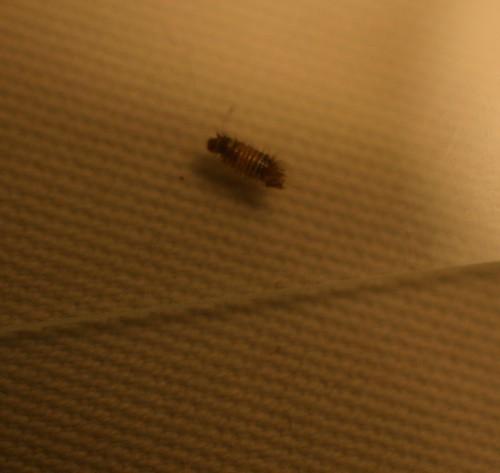 Carpet Bugs Larvae Bugs Larvae 8 X 10 Sisal Rug
