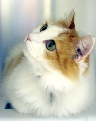 Gypsy, a Beautiful, Soft, White & Ginger Girl Cat (Pixel Packing Mama) Tags: wow pretty lovely1 gorgeous great catsandkittensset flickrwow welldone glamourcatmagazine heartlandhumanesociety beautifulcats whiteandgingercats pixelpackingmama dorothydelinaporter worldsfavorite favorites40 favorites60 loveofthefeline montanathecat~fanclub catcentury v10000 gattigattinigattoni montanathecat~fanclubpool bonzag favoritedpixset mostinterestingaccordingtoflickralgorithmset spcacatspool spcacats bestofcats ultimateanimalphotography 5favoritesinlessthan25views 5favsand5099viewswhenadded wowaddonlypicturescommentedwithawowpool cat10000 wowiekazowiepool commentedwithanicondirectorygroup buffcreamcreamsicleorangetabbybeigetancatsset ceruleanthecat~fanclubpool reallyunlimitedpool cc10000 views1000andupdomesticcatsonlypool ashotadayorsopool stanzeeyedgreen allcatsallowedpool 7500pool favorites40pool uploadedfirsthalf2007 views1000015000pool over10000viewspool buffcreamcreamsicleorangetabbytanbeigegingercatsset commentedwithwowunlimitedpool 50plusphotographersaged50andbetterpool update4sure wowphotospool pet10000 40to49favoritescatscommentingrequiredpool update4sureset 10000viewsset newfavset50 incrediblefelinephotos10000viewspool oversixmillionaggregateviews over430000photostreamviews