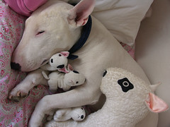 Sieste de Klark (pa gillet) Tags: dog chien white english bull terrier bully bullterrier pagillet pasmchantdutout wwwpagilletfr wwwpagilletoverblogcom wwwpagmanfreefr
