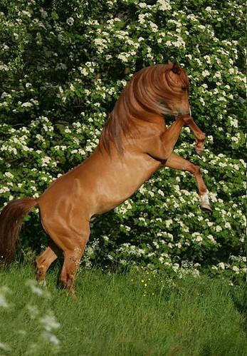 Arabian roars by W e n n i.