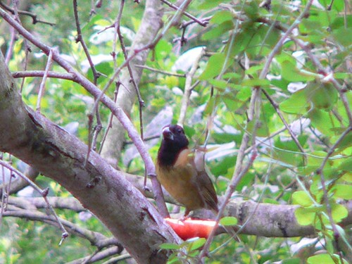 Crimson-collared Grosbeak