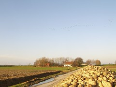 geese and the house (Epi Flavio) Tags: winter geese ganzen friesland sugarbeet oudebildtzijl suikerbieten