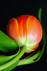 Tulip. (Brenda-Starr) Tags: flowers flower macro nature floral canon flora bravo searchthebest flowerthemes australia tulip canon350d newsouthwales ef100mmf28 canonrebel excellence blueribbonwinner blaxland magicdonkey september2006 outstandingshots inadesignphotography abigfave 123f50 colorphotoaward isawyoufirst