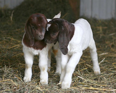 Love is... (Boered) Tags: kids boer interestingness twins babies goats boergoat ilovegoats abigfave anawesomeshot impressedbeauty 45hoursold