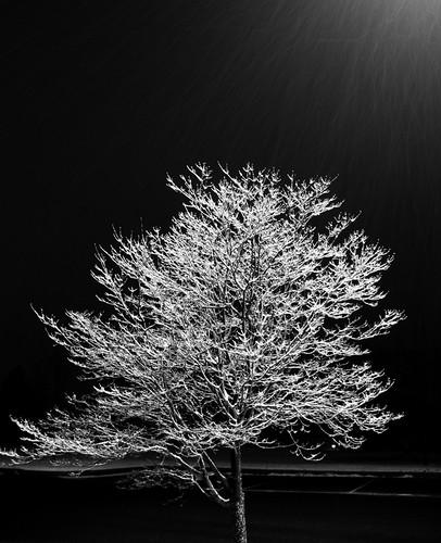 Tree in Snow B&W