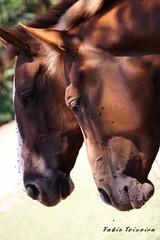Cavalos (fabio teixeira) Tags: brazil brasil canon rebel xt fabio canonrebelxt cavalo holambra teixeira nufca fabioteixeira