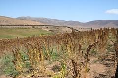 Cultivo de quínoa en Peñablanca