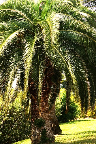 canary date palm tree. Florida Palm Tree
