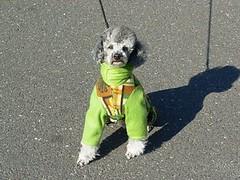 dog pet animal silver toy pablo fluffy canine superman suit jacket poodle cuddly batman batdog superdog
