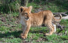 Growing Up Lion. (Picture Taker 2) Tags: africa cats cute nature animals closeup kids children outdoors cub colorful pretty babies native wildlife pride curious wilderness plains predator upclose lioness bigcats lioncubs newlife wildanimals animalbabies babyanimals africaanimals masimarakenya