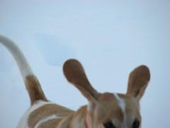 happy happy joy joy (amiMaija (Anne Brown Photography)) Tags: dog pet beagle puppyjack wowiekazowie