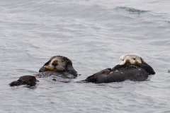 sea-otters_02