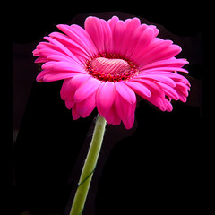 Happy Valentines Day - pink gerbera with a heart of chocolate (Vanessa Pike-Russell) Tags: pink light macro love easter petals soft bestof heart chocolate vibrant photoshopped australia valentine romance gift gerbera mostinteresting faves portfolio popular 2007 fujifinepix myfaves s5600