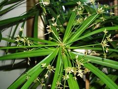 Papyrus. (maya_dragonfly) Tags: plant macro green nature flora greenhouse pottedplant papyrus winter07