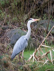 Grey Heron in Russia Dock Woodland