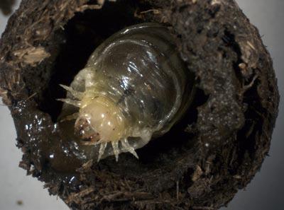 dungbeetle_larvae