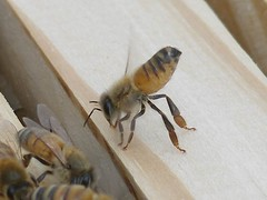 Honeybee fanning on hive-frame (Blue Goose Inn by D.Broberg) Tags: macro closeup bees olympus beehive cooling beekeeping honeybees airing fanning nasanov gland c7000z